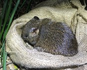 Southern brown bandicoots return to Booderee after almost 100 years