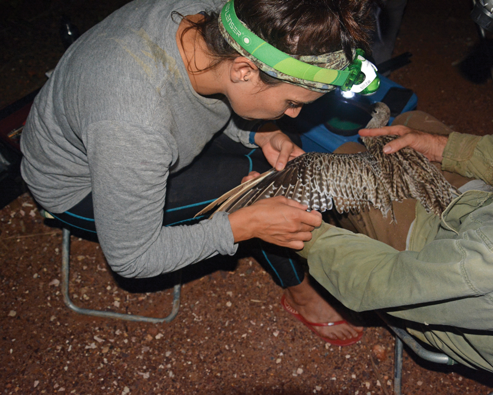 Tracking the far eastern curlew - News from Darwin and beyond
