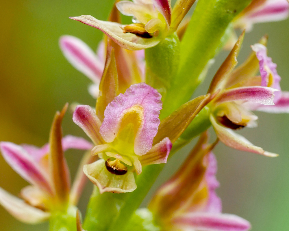 Race to unlock secret to save endangered orchids