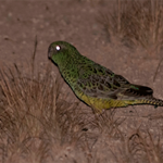 Conservation of the Night Parrot