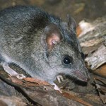 Response of the Kangaroo Island Dunnart and other threatened species to a cat eradication program