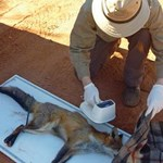 Feral predators in south-east Australia: Towards a 'beyond the fence' strategy