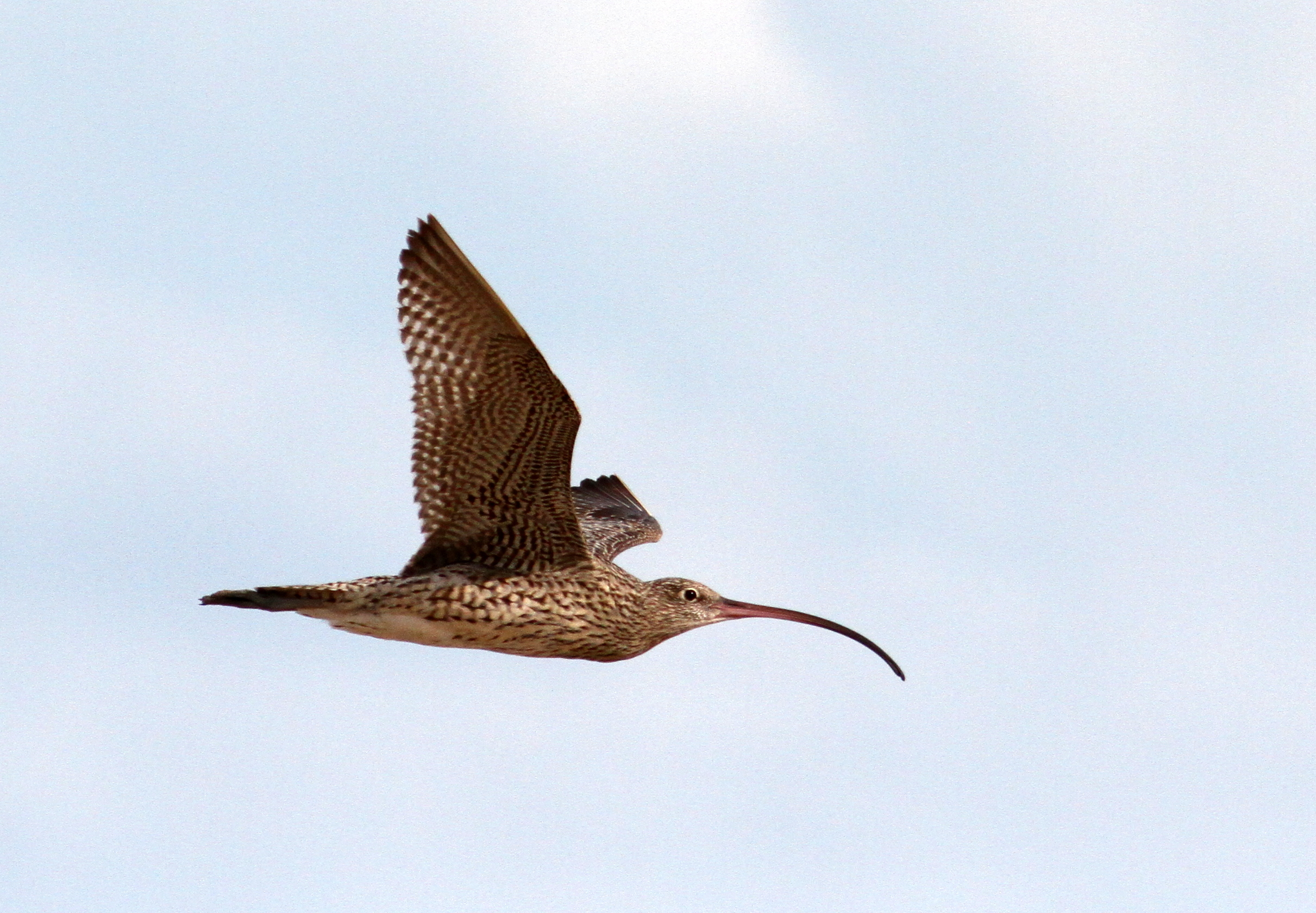Recovering the far eastern curlew