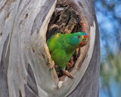 Addressing a swift-parrot housing crisis