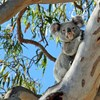 Optimising feral animal control to benefit threatened species on South East Queensland Islands