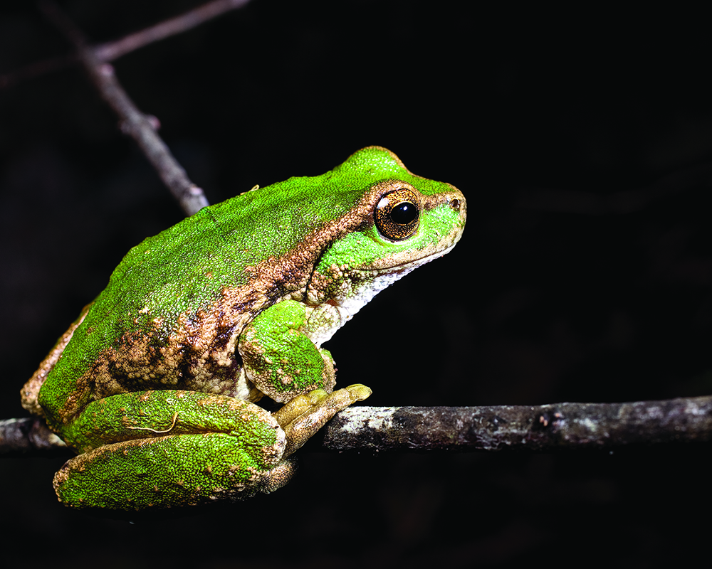 Refuges offer hope for the spotted tree frog