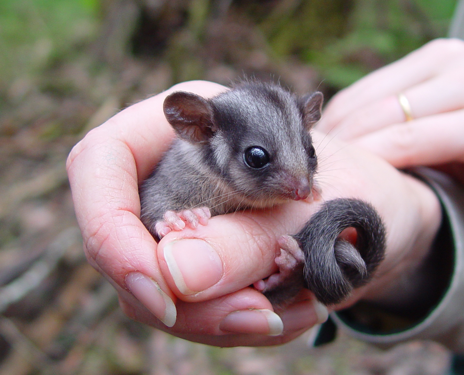 Leadbeater's Possum faces extinction if logging continues