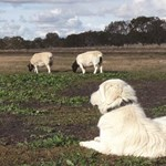 Livestock guardian dogs to protect threatened species and restore habitat