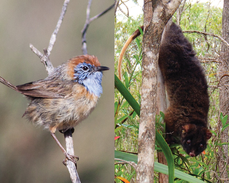 Top 20 Australian mammals and birds at risk of extinction