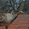Recovering malleefowl with adaptive management of feral predators