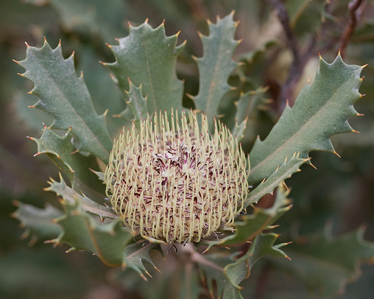 New Research: The Aussie plants facing extinction