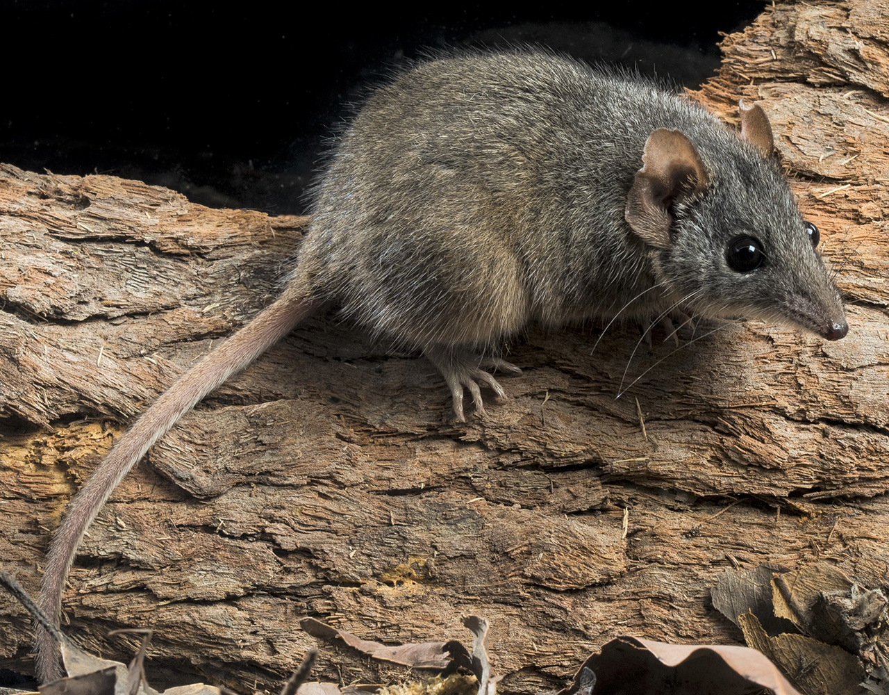 Moving mountains for the antechinus: The importance of food availability and high-elevation habitat