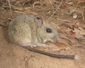 Tiwi Island mammals: Saving the brush-tailed rabbit-rat