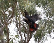 Success for Kangaroo Island's glossy-black cockatoos