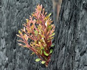 Plants in the ashes: Prioritising Australian flora after the fires