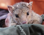Life of quolls in the Pilbara