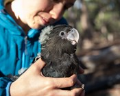 Researchers tune in to nesting calls to help rare cockatoos