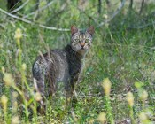 Honours project opportunity on feral cats at two QLD National Parks