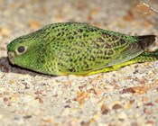 How long between drinks for the night parrot?