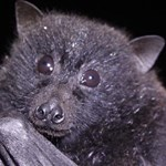 Conservation of the Christmas Island flying-fox
