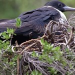 Christmas Island frigatebird: Workshop focusing on research and management priorities