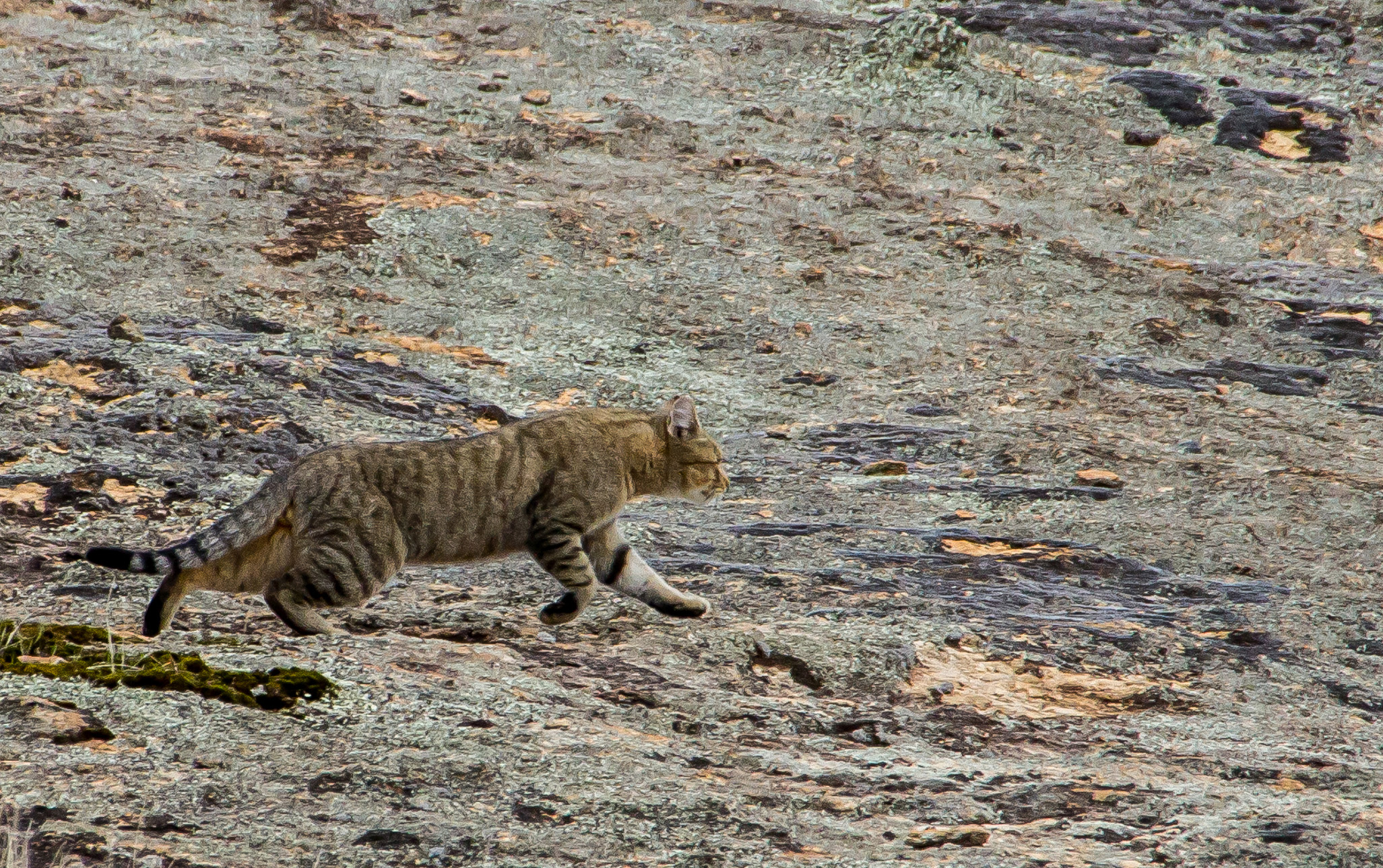 Threatened Species Recovery Hub to join fight against feral cats