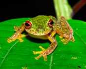 Mass amphibian extinctions globally caused by fungal disease