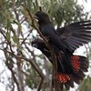 Bioacoustic monitoring of breeding in glossy and red-tailed black-cockatoos