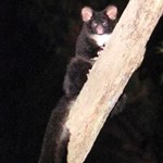 The conservation of Greater Glider populations in the Victorian Central Highlands