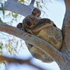 Better managing fires and their impacts for koala conservation