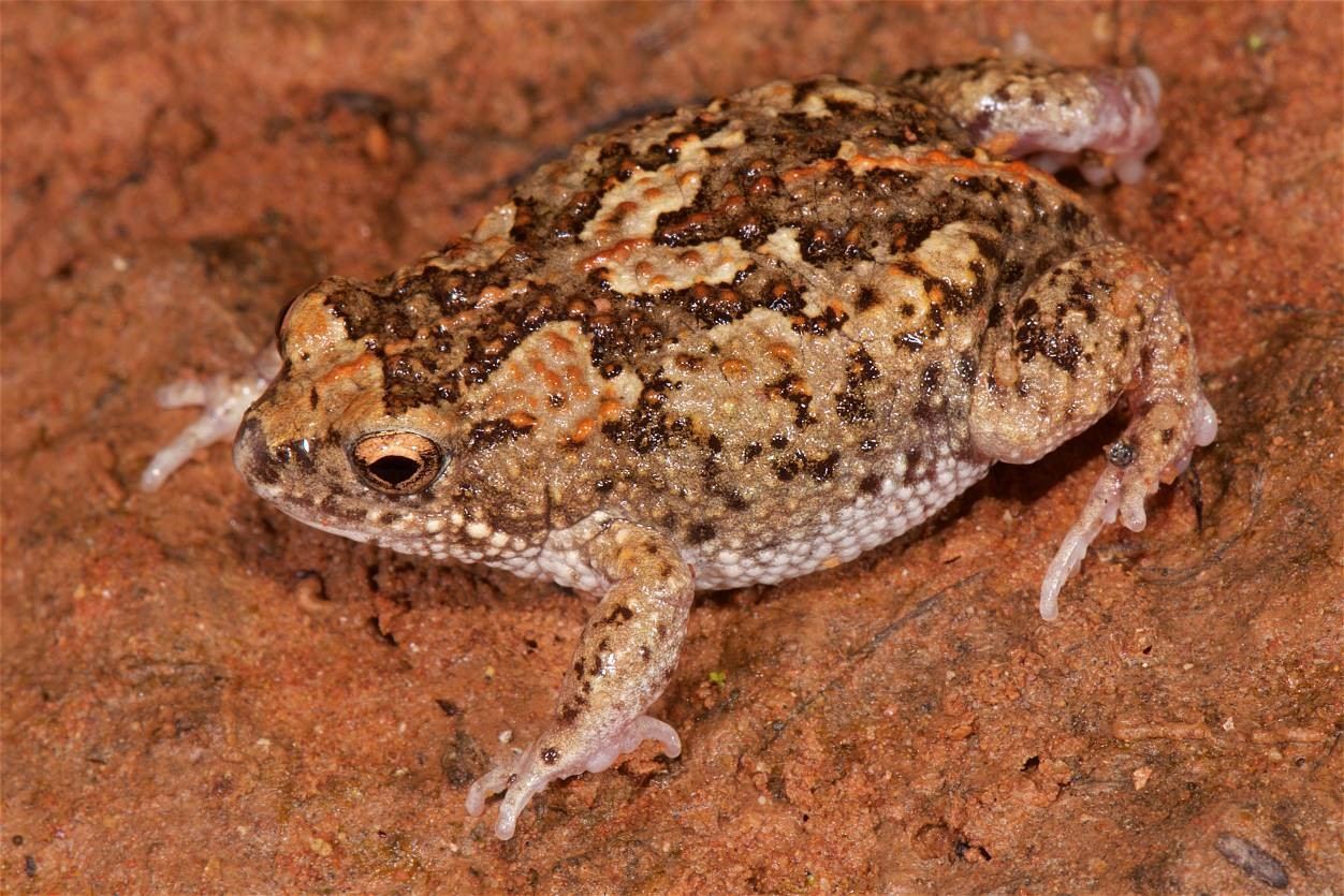 Genetic translocation spawns hope for frogs