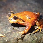 Post-fire impact assessment for priority frogs