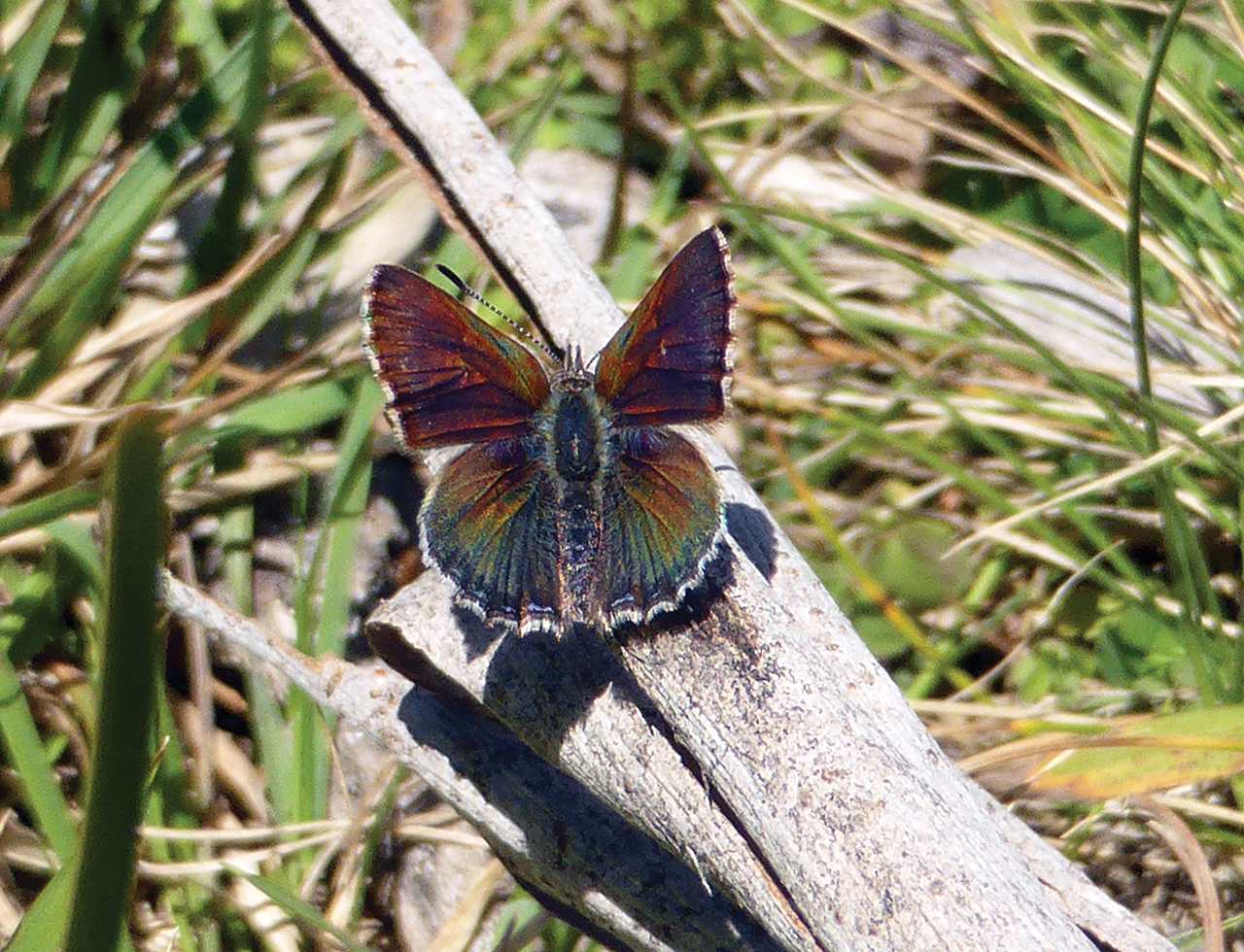 Bathurst Copper Butterfly