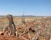 Unique yet neglected:  The Australian snakes and lizards on a path to extinction