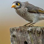 Can culling noisy miners benefit threatened woodland birds?