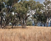 Post-fire recovery of Australia's threatened woodlands: Avoiding uncharted trajectories