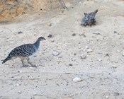 Monitoring malleefowl on a massive scale