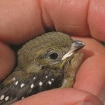 Conservation and management of the endangered forty-spotted pardalote