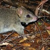 Fire, predators and the endangered northern bettong