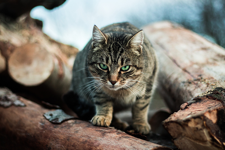 Our cute killers: Cats kill more than 1.5 billion native animals per year in Australia