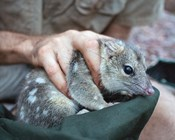 Video: How are Northern Quolls responding to feral cat baiting in the Pilbara?