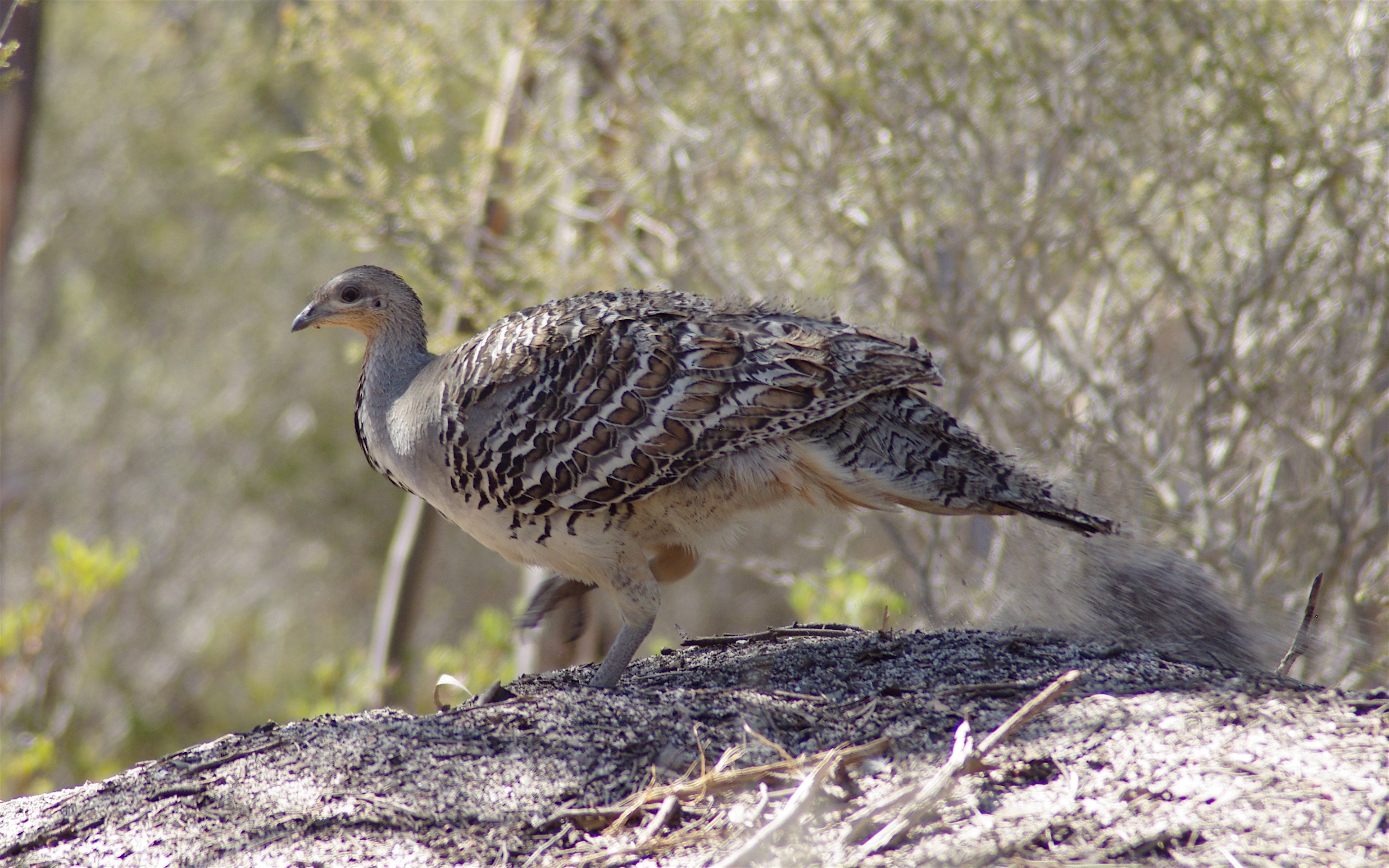More data to tackle threats to Malleefowl