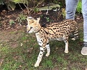 Banning savannah cats in Australia was good science