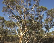 Red listing our national icon, the gum trees