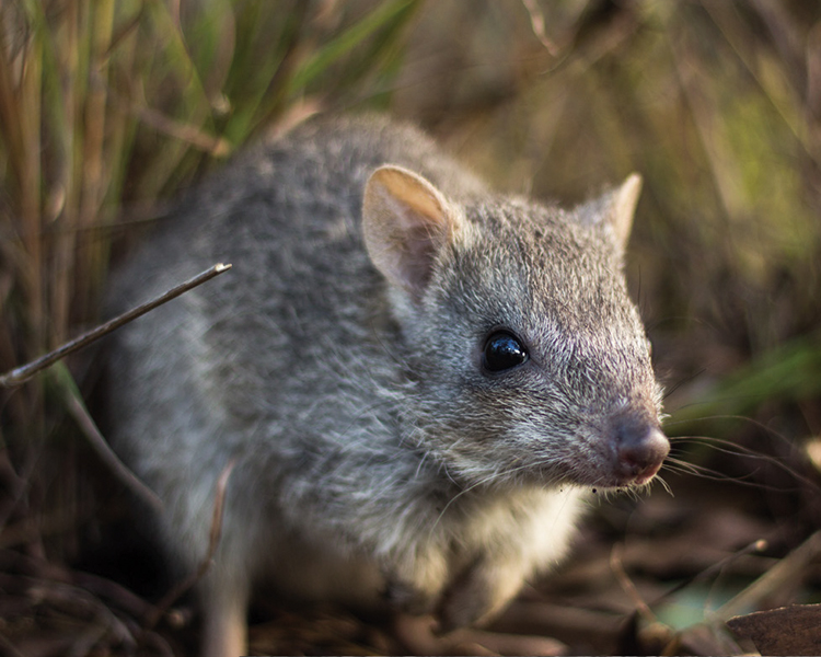 PhD opportunity - Northern bettongs, fire and cats