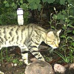 Feral cat distribution, abundance, management and impacts on threatened species: collation and analysis of data