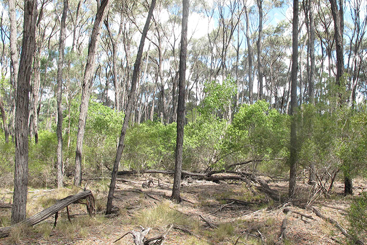 Australia's Brigalow forests almost gone in 60 years