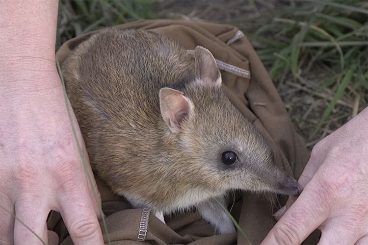 Genetic rescue for threatened species: Bandicoot bounces back