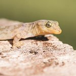 Combatting an emerging disease threatening endangered Christmas Island reptiles