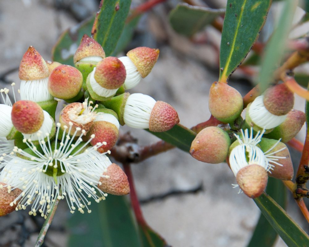 Eucalypt photo competition